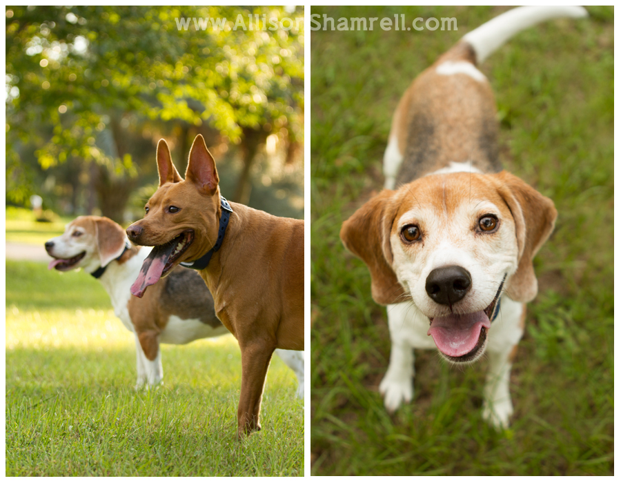 A 3-legged pit bull mix and a Beagle in the grass.