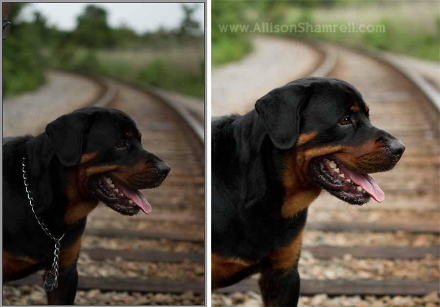 Before and after dog photography example.