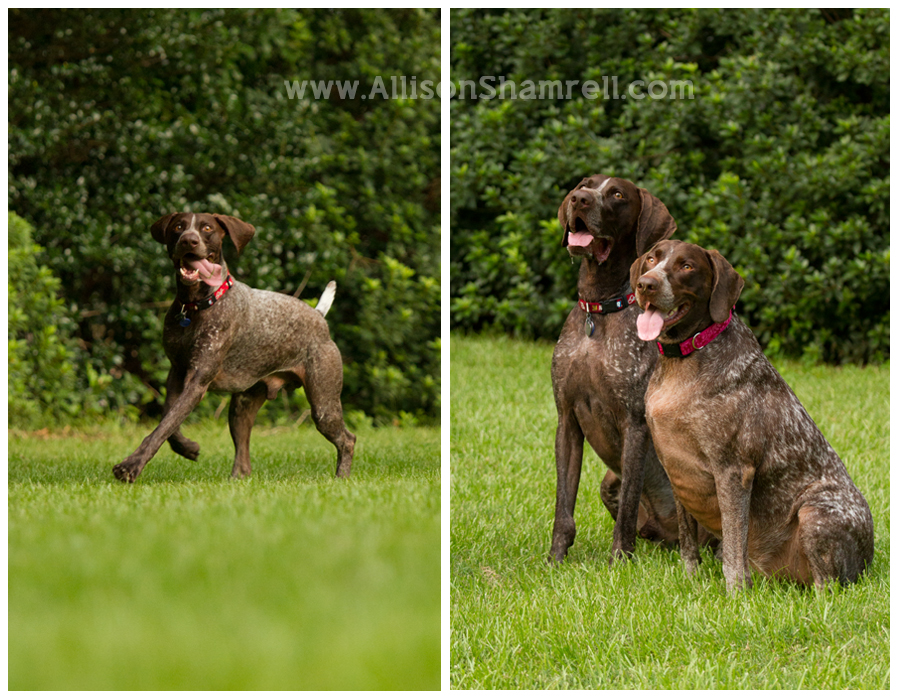 A German shorthaired pointer runs in his backyard, and two pose for a photo.