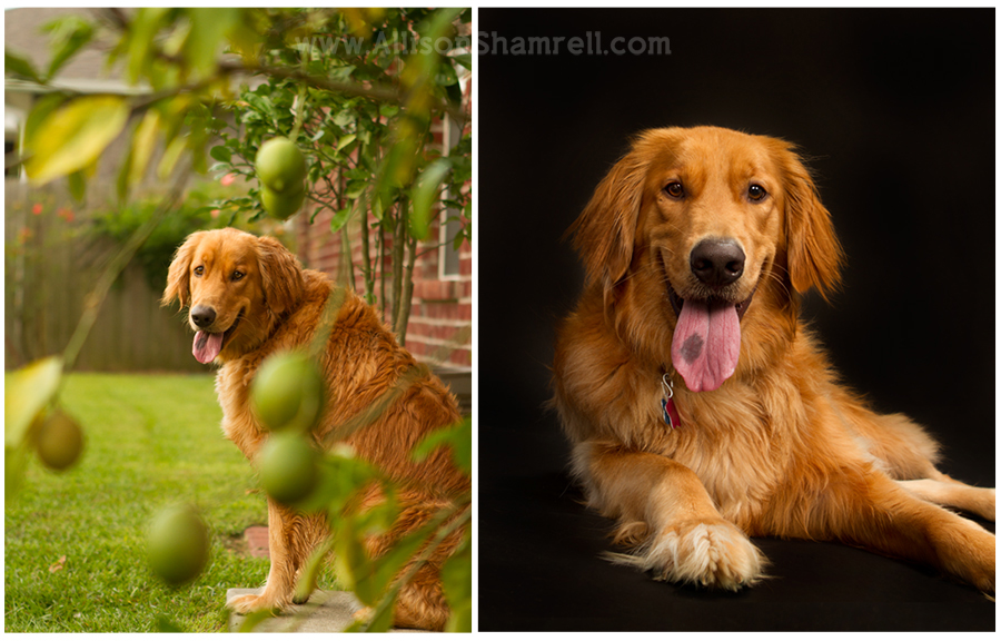 A golden retriever named Lucas in his backyard and the studio.