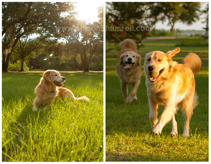 Golden retrievers lay and play in the grass.