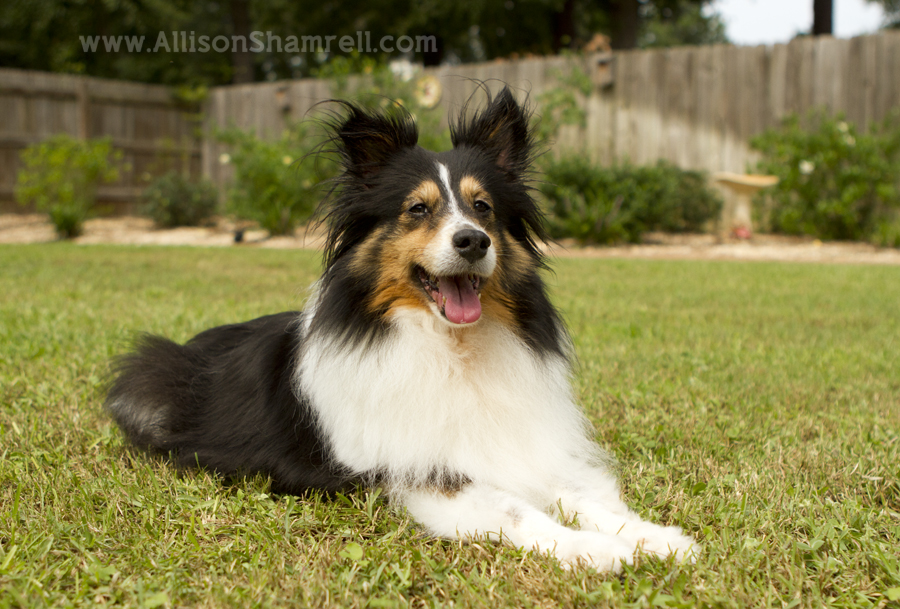 Tri-color sheltie dog laying in the grass of her backyard.