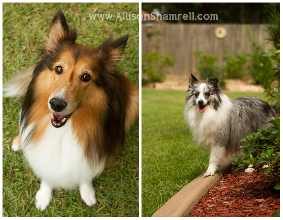 Two shelties pose for photos in their backyard.