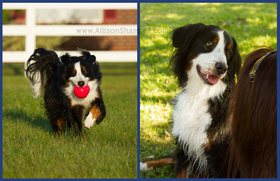 A fun Bernese mountain dog playing with a ball and with her owner.