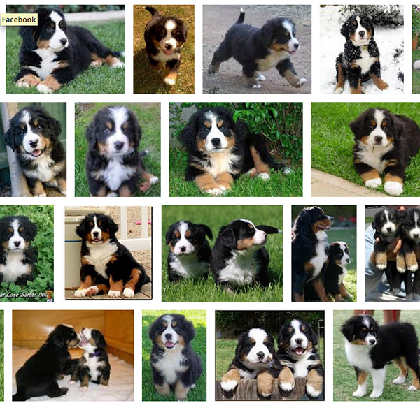 Google image search of Bernese mountain dog puppies.