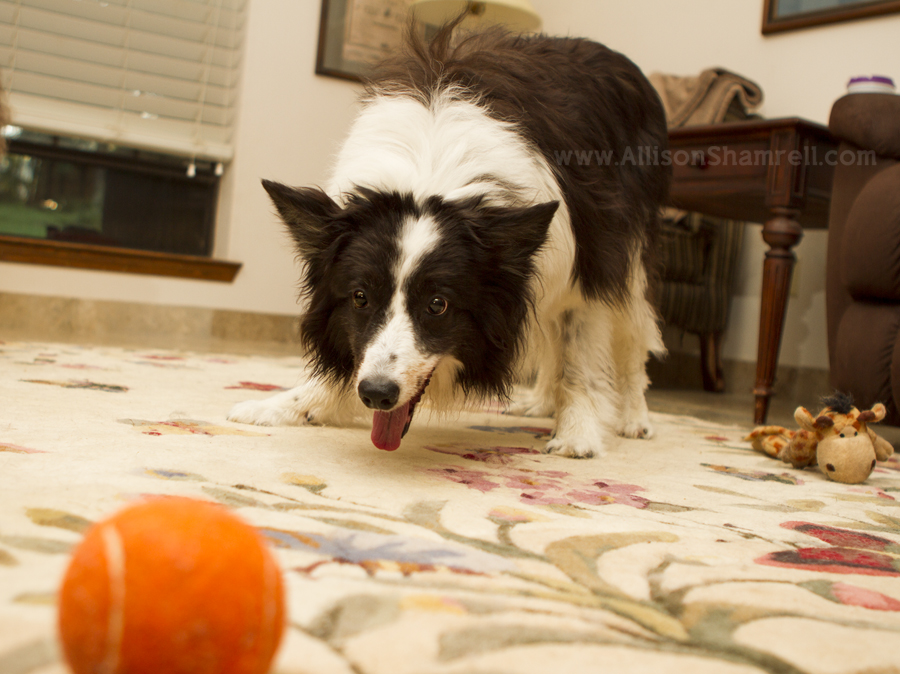 A border collie dog watches a squeaky ball toy in her house.