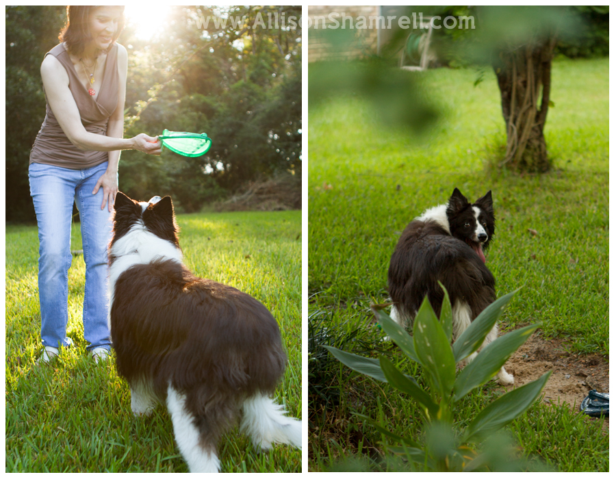A border collie dog plays with a frisbee in the grass.