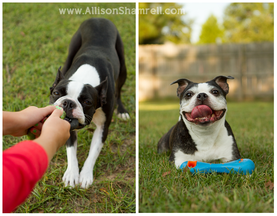 Two Boston terriers play with toys in the green grass.