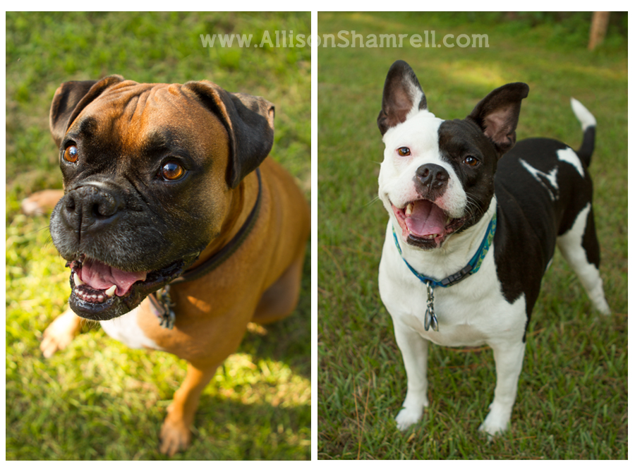A boxer and a pit bull-Boston terrier mix on grass.
