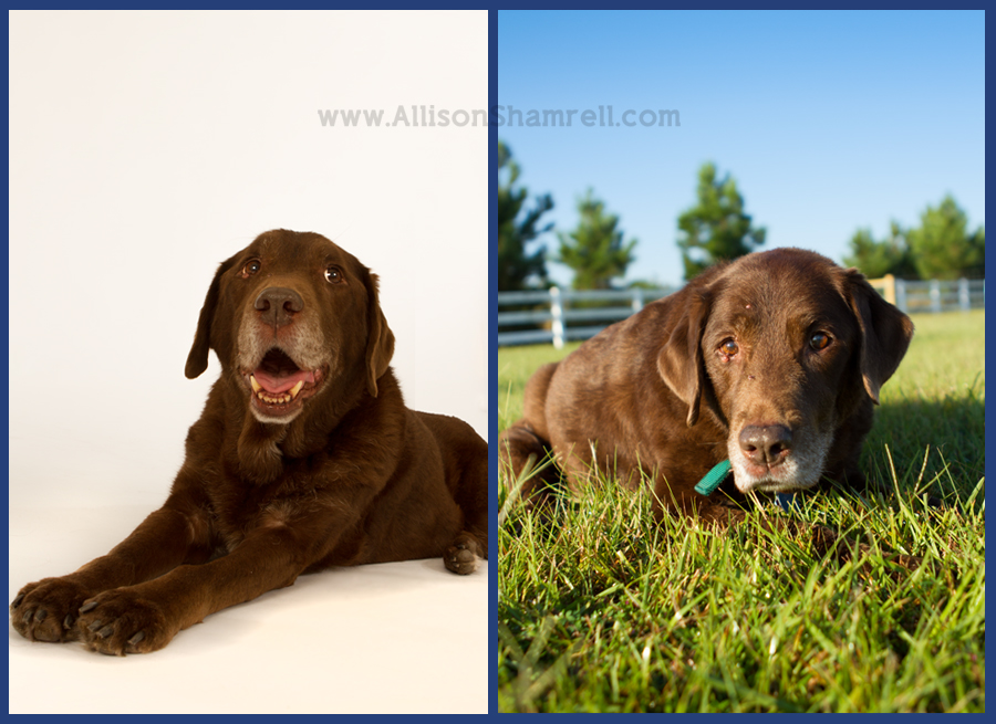 An elderly chocolate labrador relaxes in the studio and a field.