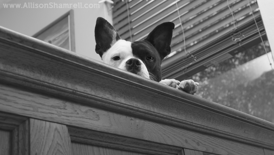 A pit bull/Boston terrier mix peeks over the side of a bed with her paws.