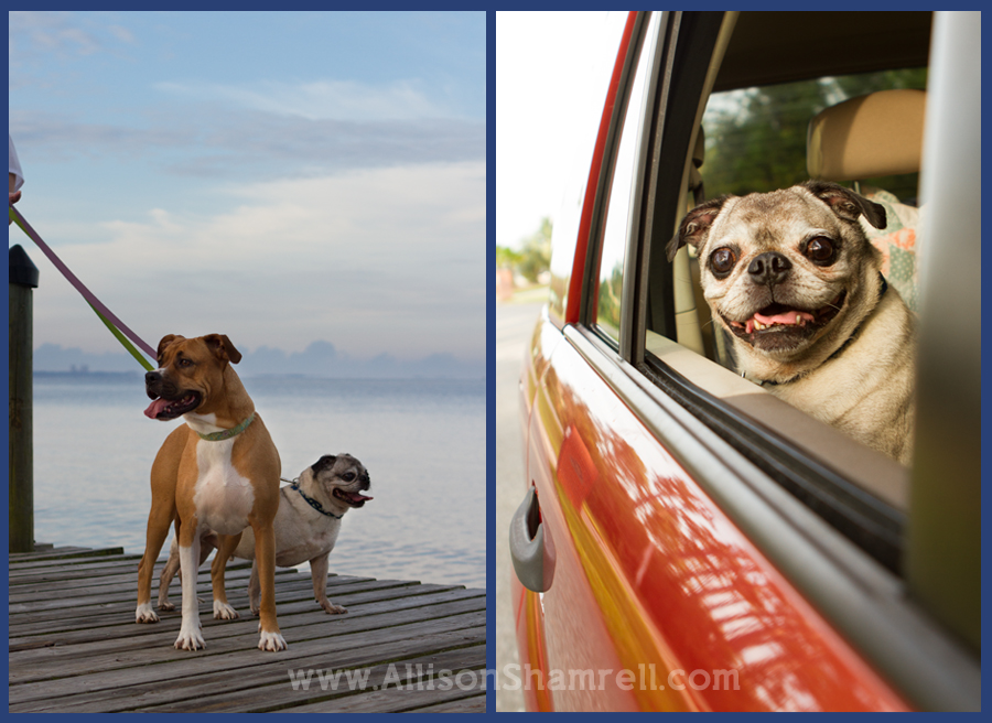 Dogs on a dock and looking out a car window.