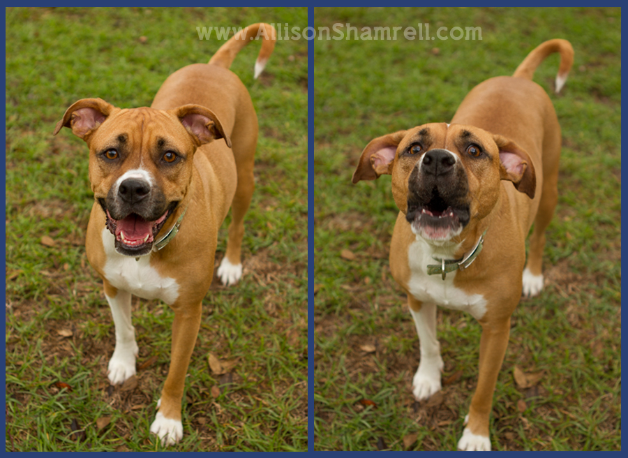 A boxer - pit bull mixx smiles and barks at the camera.