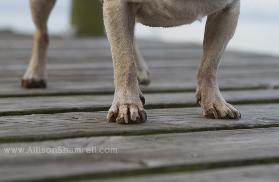 A close-up zoomed in on pugs' feet on a wooden dock.