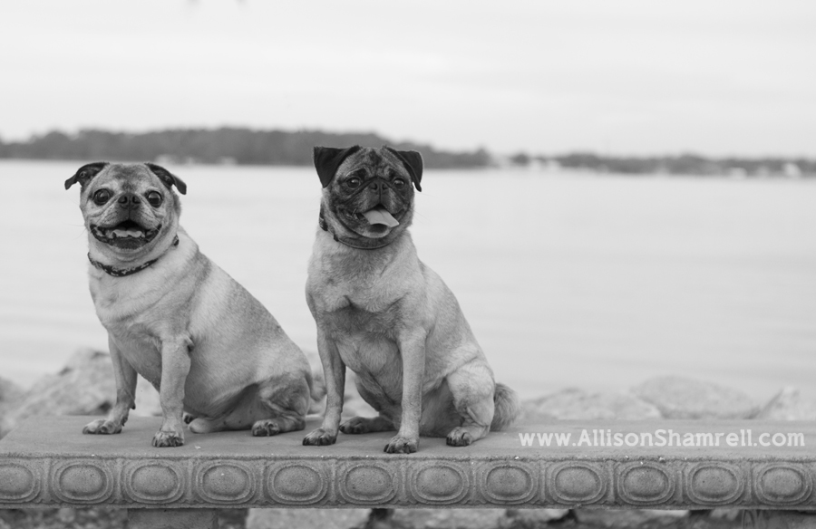 Two pugs sit on a concrete bench, with water in the background.