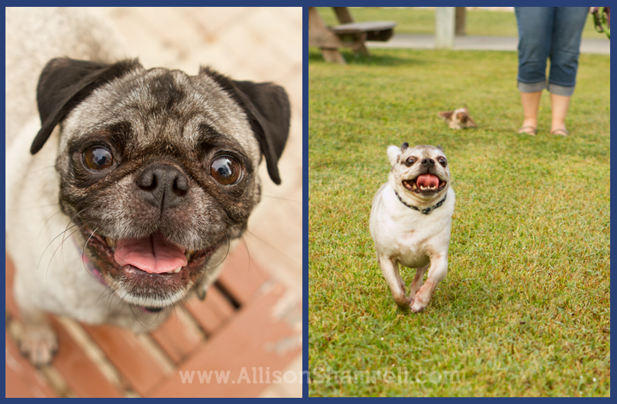 A pug looks up at the camera and one runs through green grass.