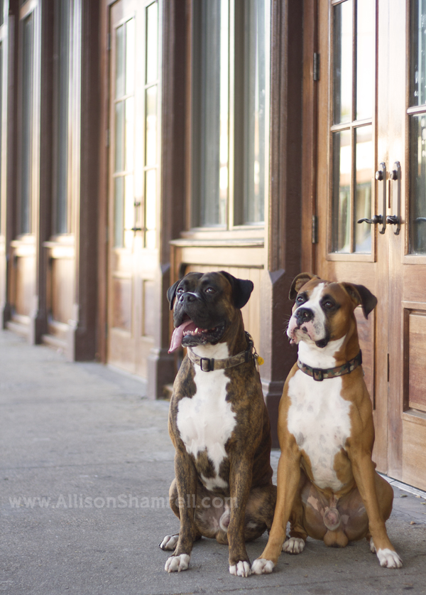 Two boxer dogs sit in front of downtown Pensacola wooden doors.