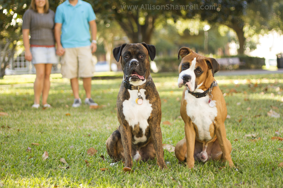 Two boxers sit in the green grass with their parents in the background.