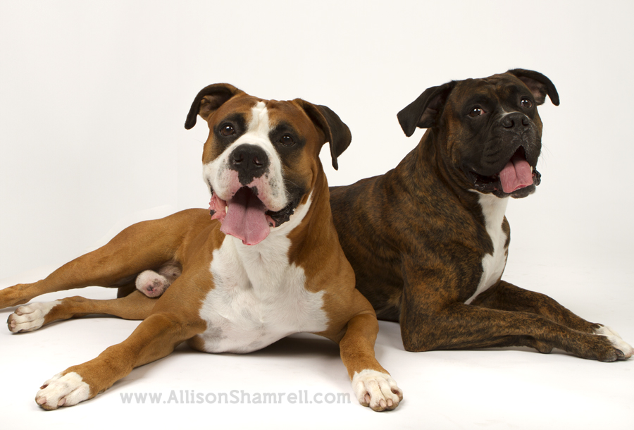 Two boxers lie down in the studio.
