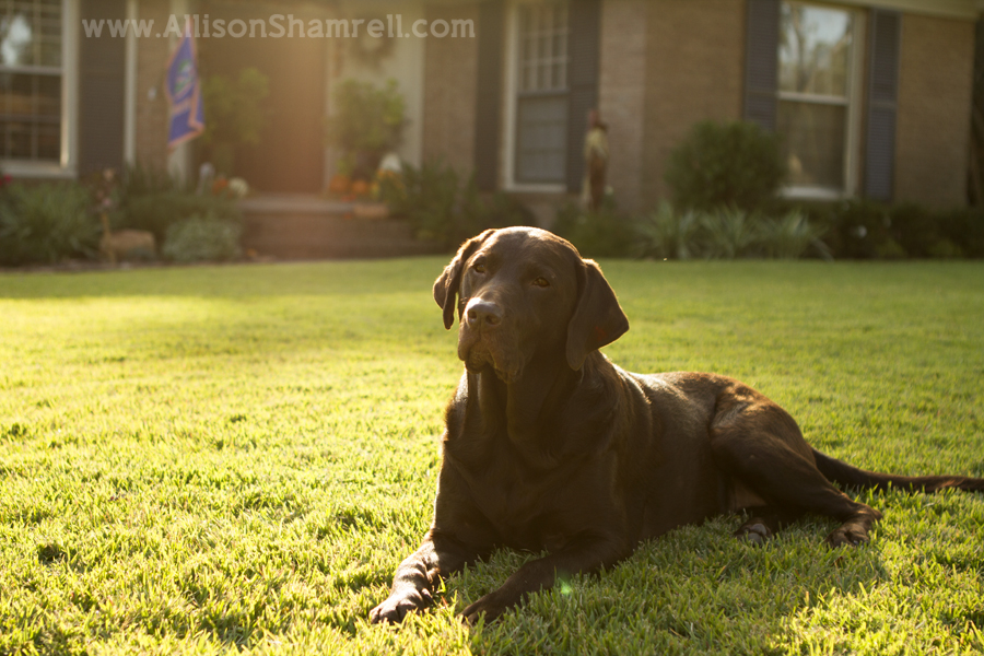 A chocolate lab lays down in the grass in her front yard.