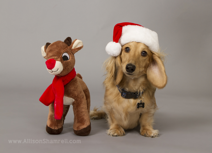 Long-haired dachshund dog in a santa hat with a toy reindeer.