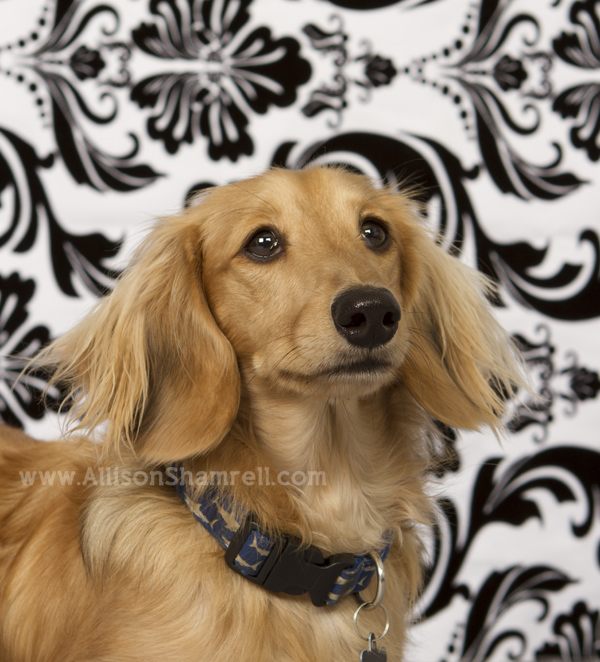 Long-haired dachshund in the studio.