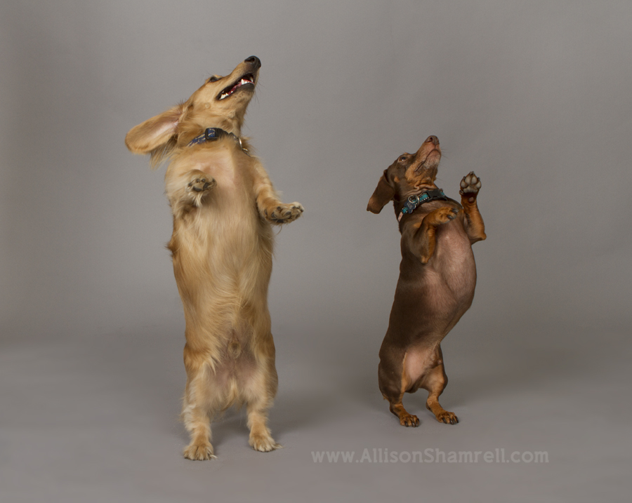 Two dachshund stand up for treats.