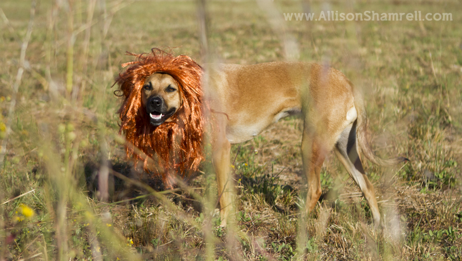 A photo of a dog dressed as a lion for Halloween 2012.