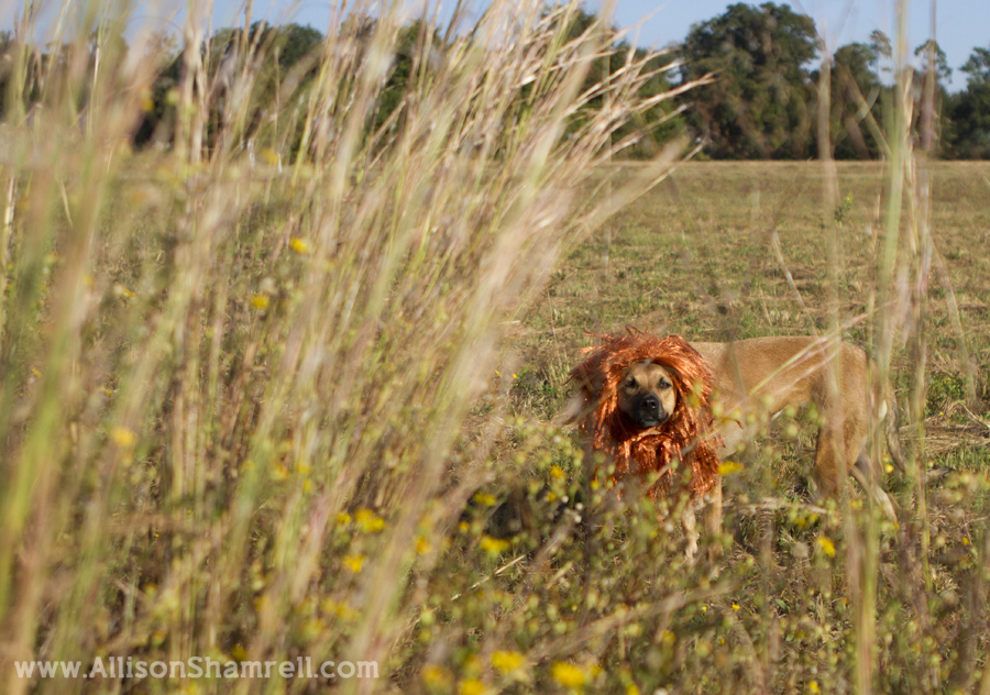 A photo of a dog dressed as a lion looking through tall grasses for Halloween 2012.