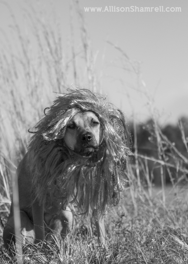 A black & white photo of a dog dressed as a lion for Halloween 2012.