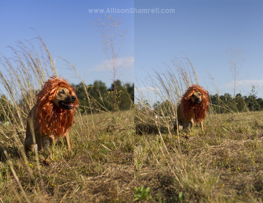 Two photos of a dog dressed as a lion for Halloween 2012.