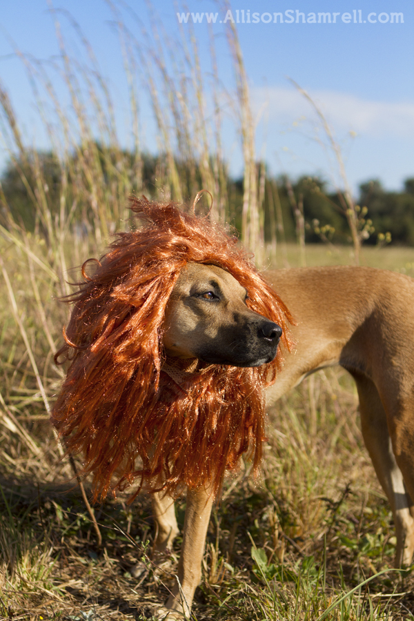 A photo of a dog dressed as a fierce lion for Halloween 2012.