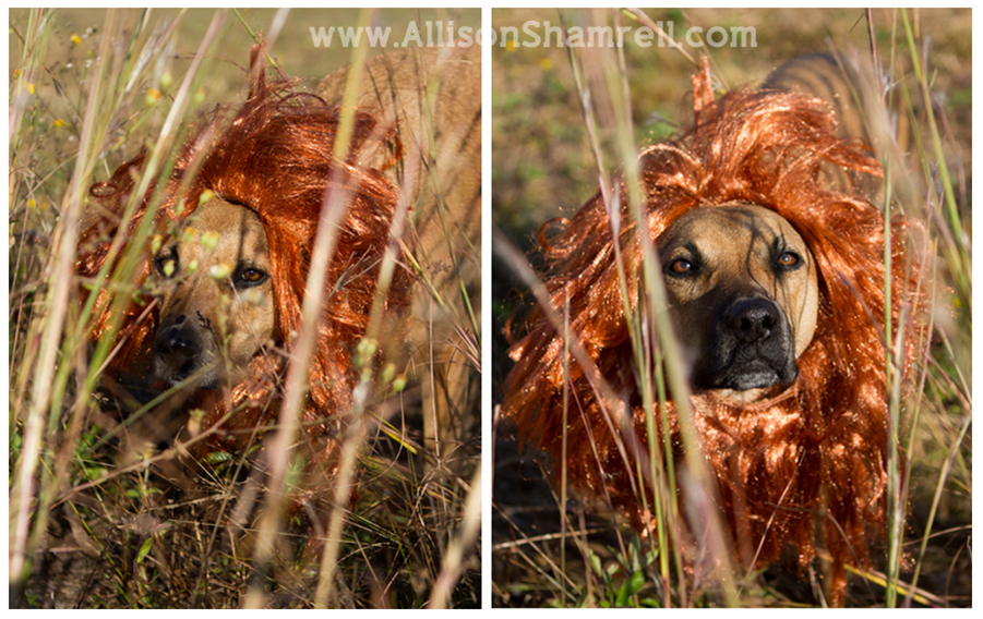 A photo of a dog dressed as a lion and peering through the grass for Halloween 2012.