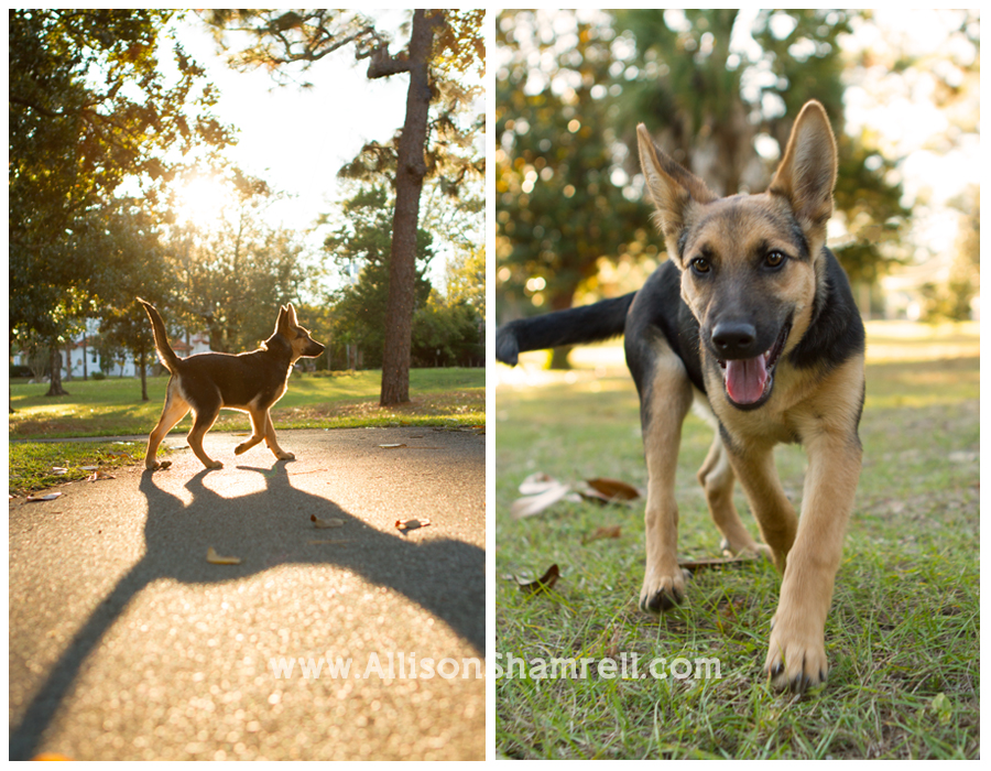 A German shepherd puppy walks around in beautiful sunshine in a Pensacola park.