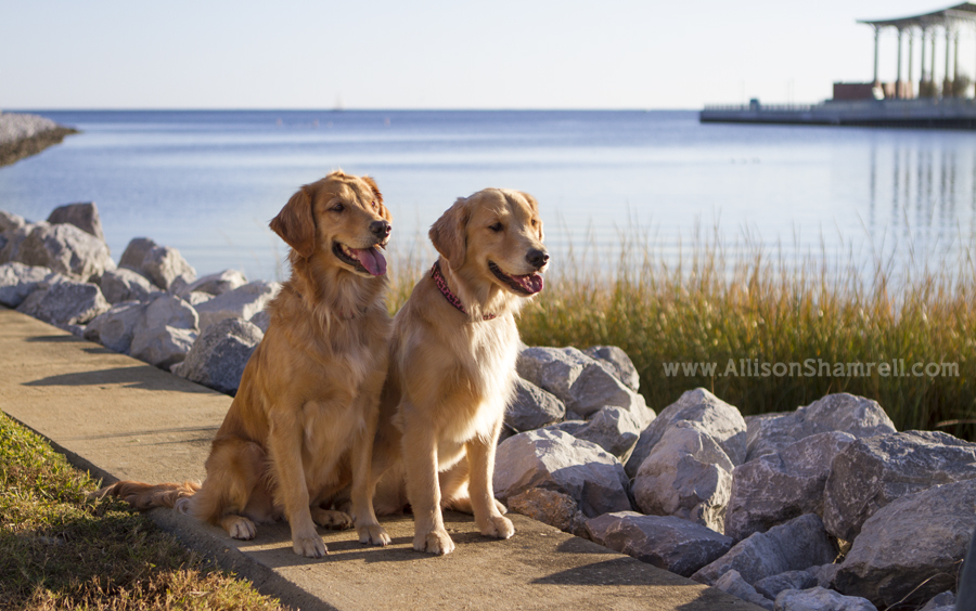 Two golden retriever dogs sit by the pretty blue water.