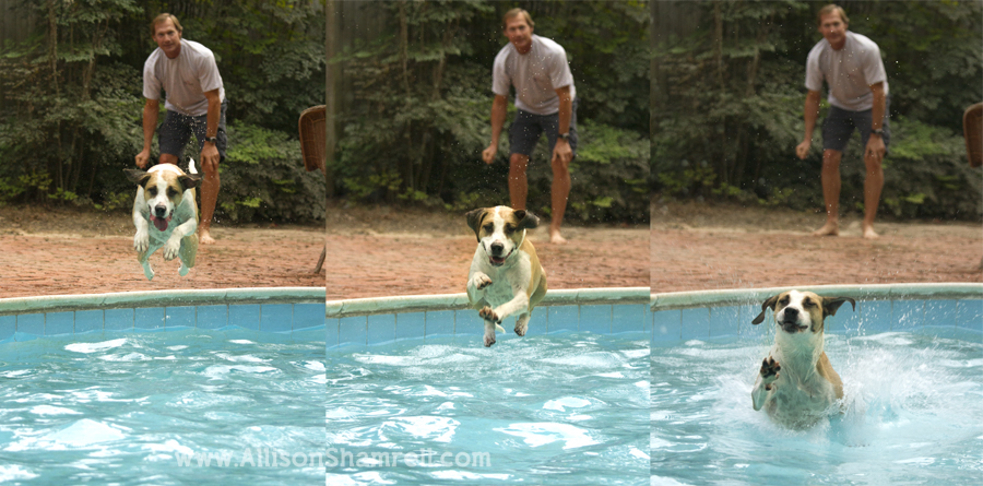 A photo collage showing a lab mix dog jumping into a pool.