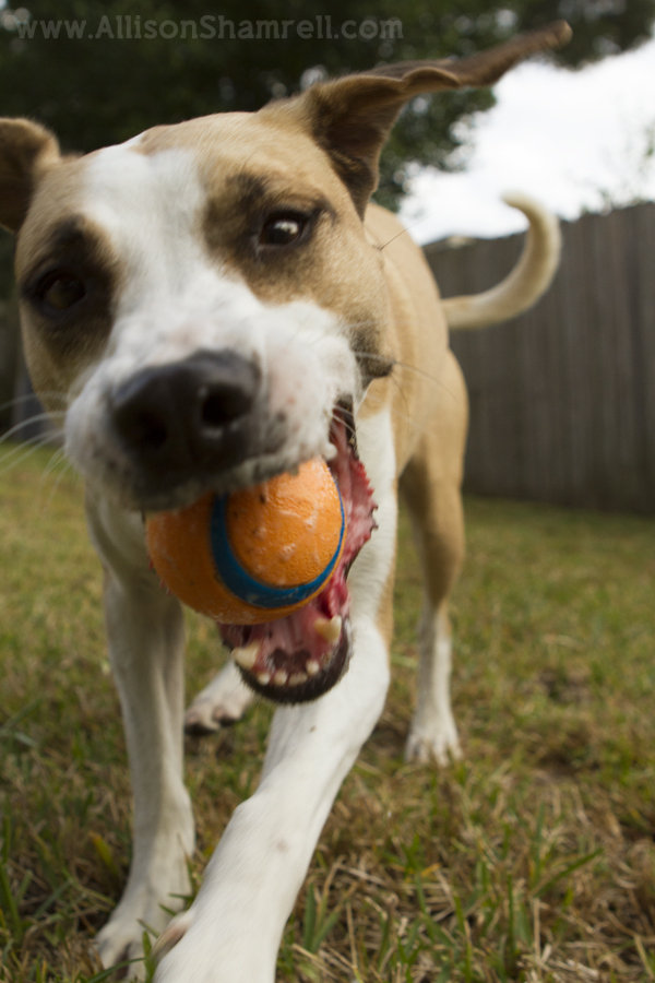 A lab mix plays with a ball in her mouth.
