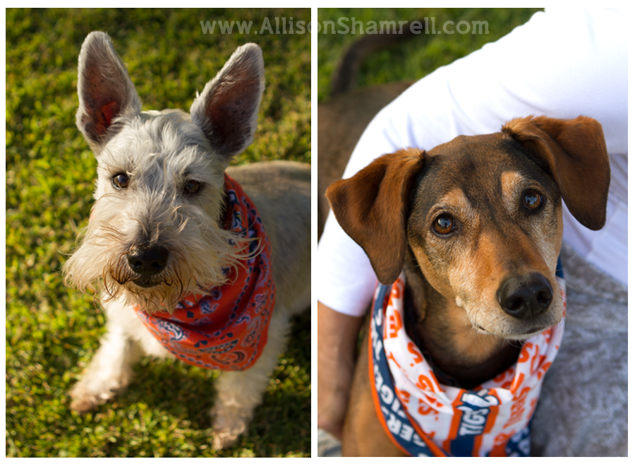 A schnauzer and a mixed breed hound look up at the camera.