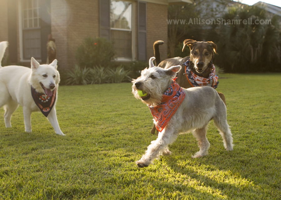 Three dogs run and play with a ball in the front yard of a house.