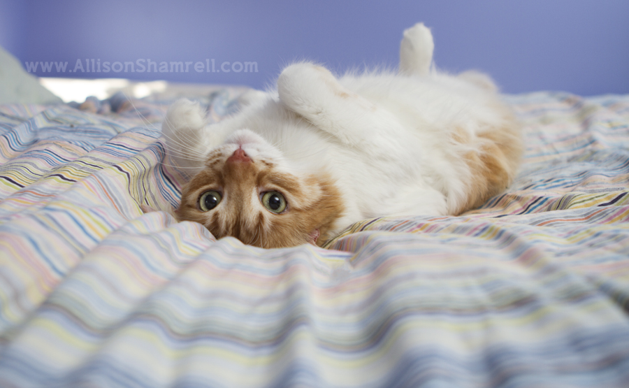 An orange cat rolls over in catnip on a bed.