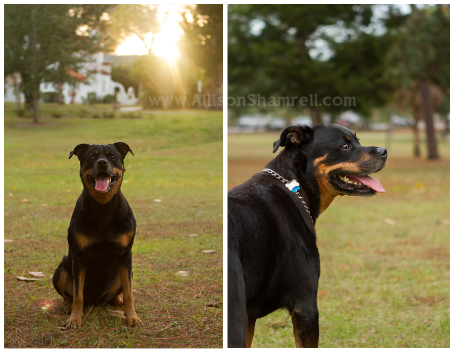 Two photos of a big rottweiler dog in a pretty park.