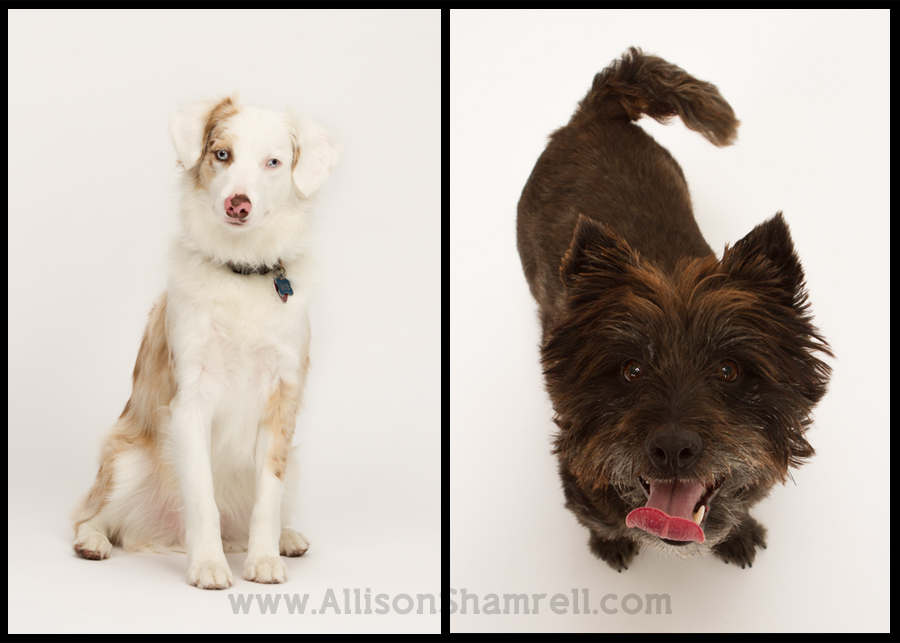 An Australian Shepherd dog and a Cairn terrier mix on a white studio background.