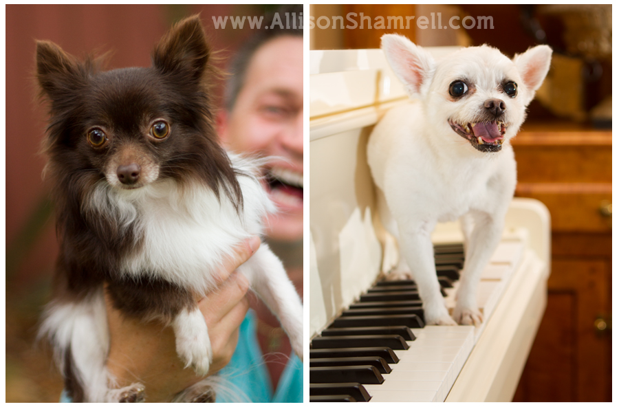 Two chihuahuas in Pensacola, Florida play with their owner and on top of a piano.