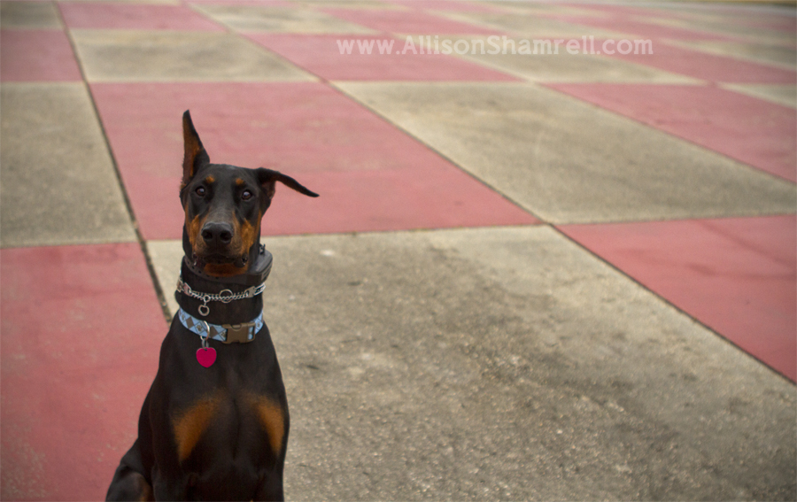 A male doberman sits in front of a red cement ground pattern.
