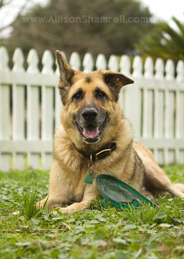 A German shepherd lays in the grass with his favorite frisbee toy.