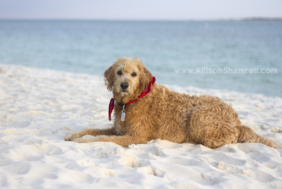 A labradoodle dog lays on the white sand beach in Pensacola.