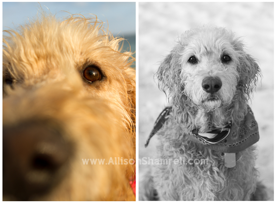 Two photos of a labradoodle dog, in color and black & white.