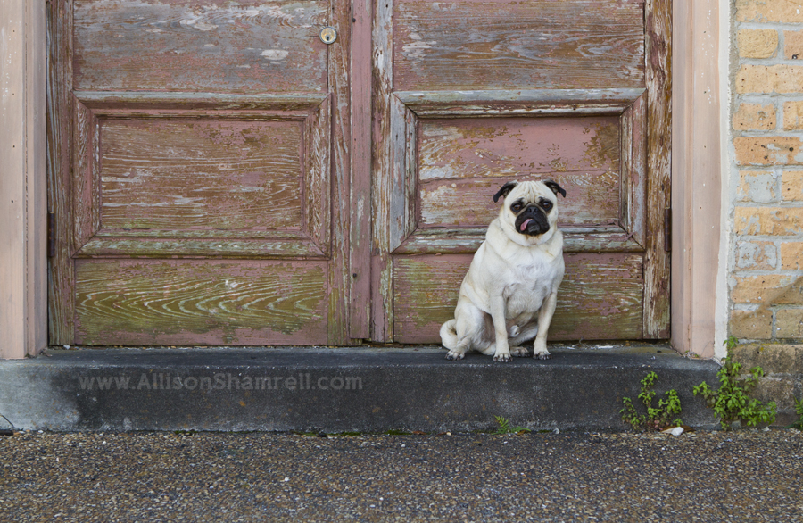 A pug poses for a photo on an old, textured doorstep.