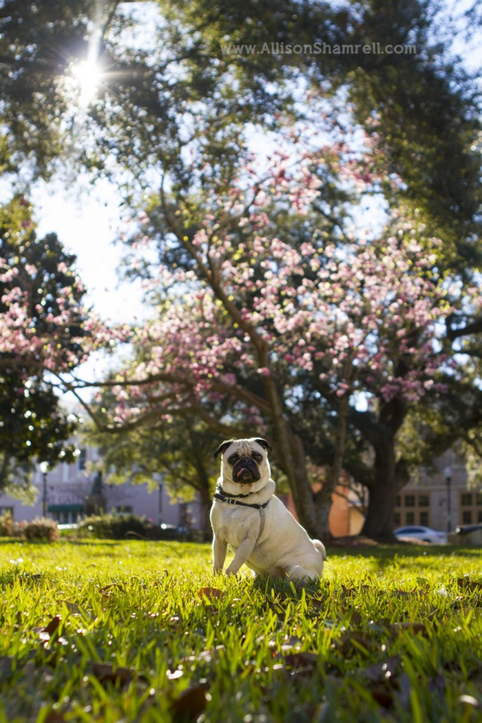 A cute photo of a pug in a park, with the sun shining, green grass and cherry blossoms.