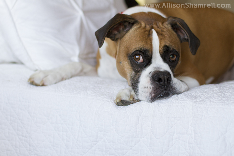 A beautiful boxer dog rests on a bed, looking out the window.